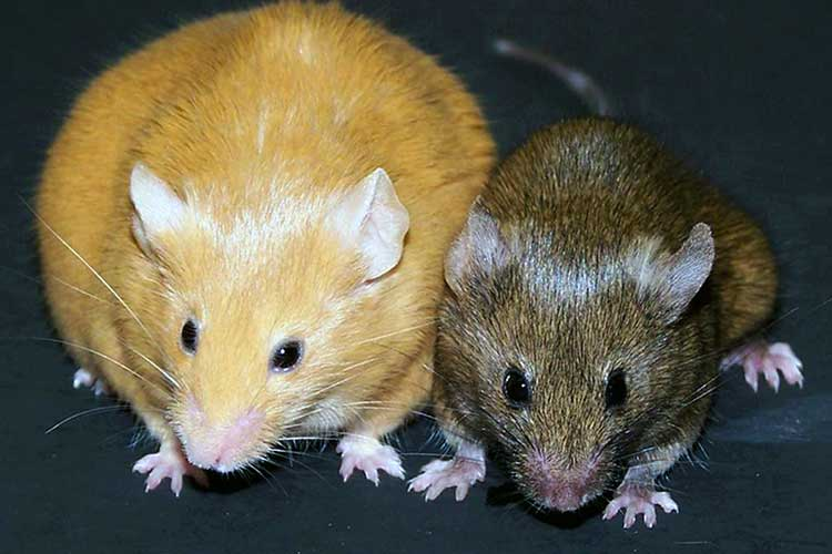 agouti mice