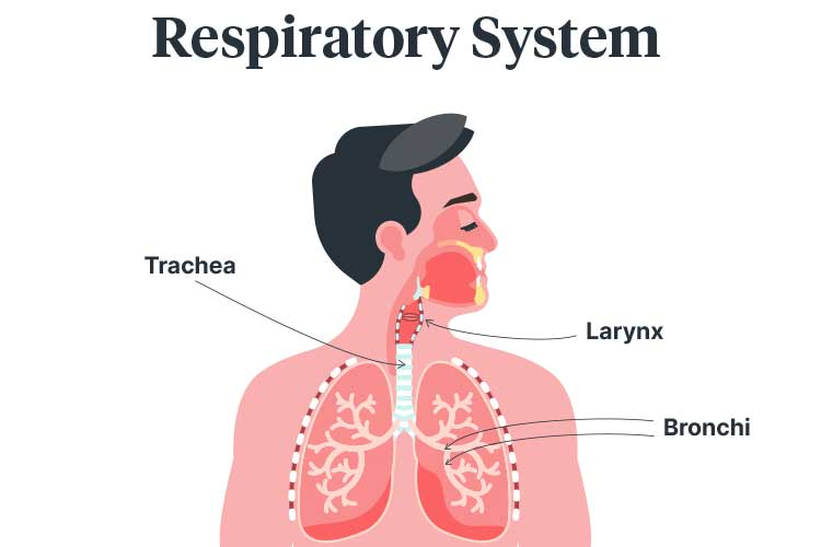 choking respiratory system diagram