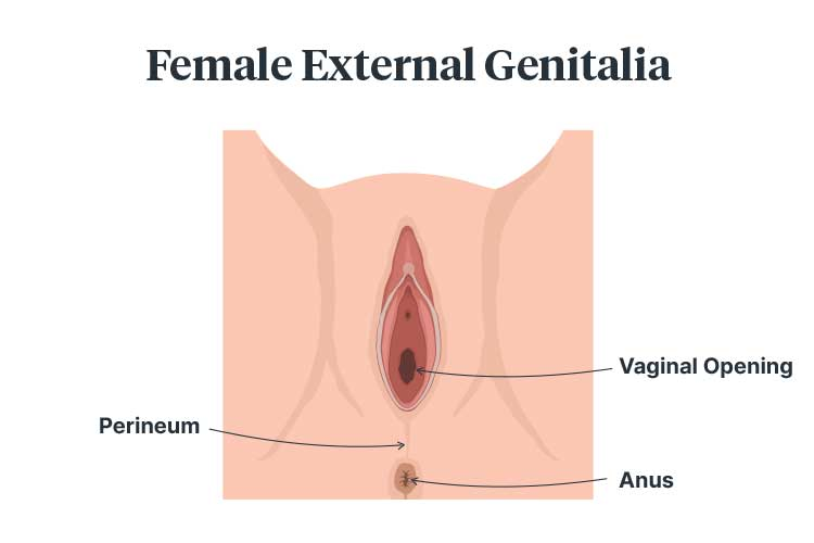 perineal tears female genitalia diagram