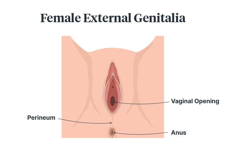 perineal tears female genitalia diagram