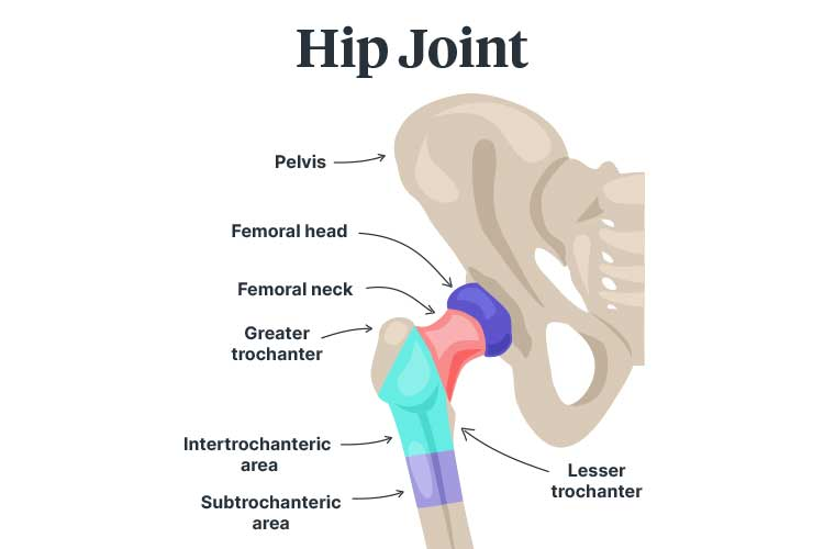 hip fracture hip joint diagram