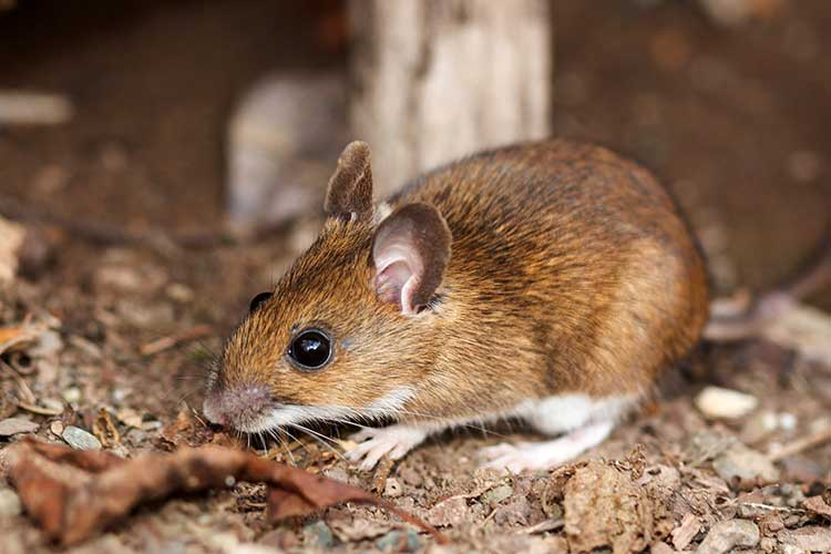 lyme disease white footed mouse