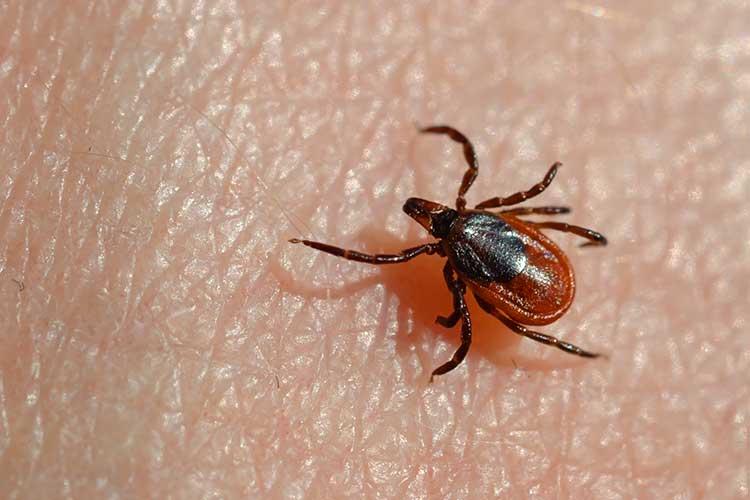 lyme disease Ixodes scapularis deer tick